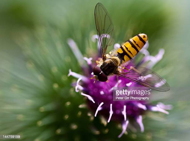Hoverfly on thistle