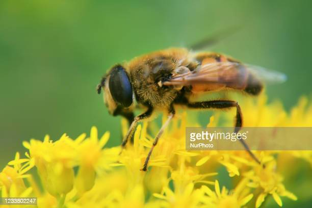 Hoverfly on yellow flowers in Toronto, Ontario, Canada.