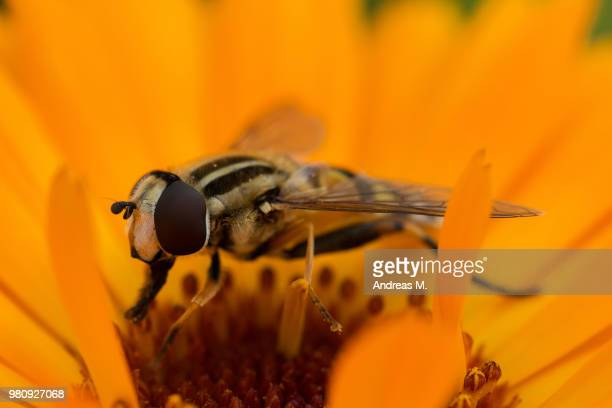 hoverfly (helophilus trivittatus) perching on marigold flower - pot marigold stock pictures, royalty-free photos & images