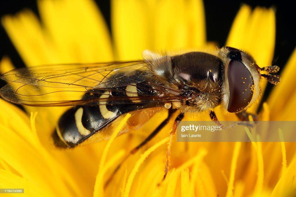 Hoverfly : Stockfoto