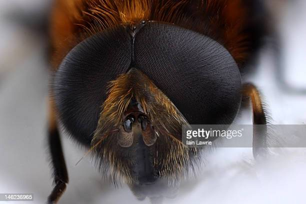 Hoverfly (Eristalis intricarius)