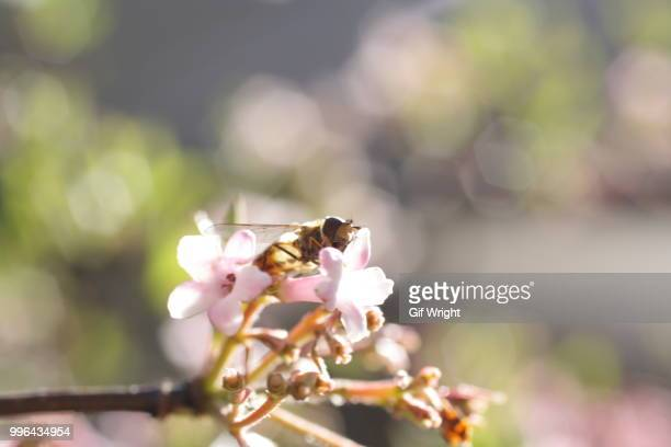 hoverfly - gif stock pictures, royalty-free photos & images