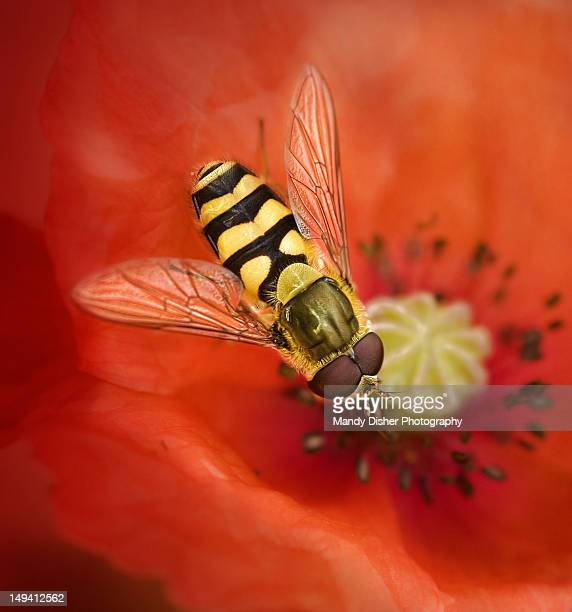 Hoverfly resting on poppy