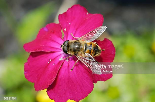 Hoverfly sucking nectar from the crimson bloom of a Rose Campion (Lynchnis coronaria)