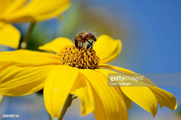 hoverfly -syrphidae- on a yellow flower of the jerusalem artichoke, sunchoke or topinambour -helianthus tuberosus- - helianthus stock photos and pictures