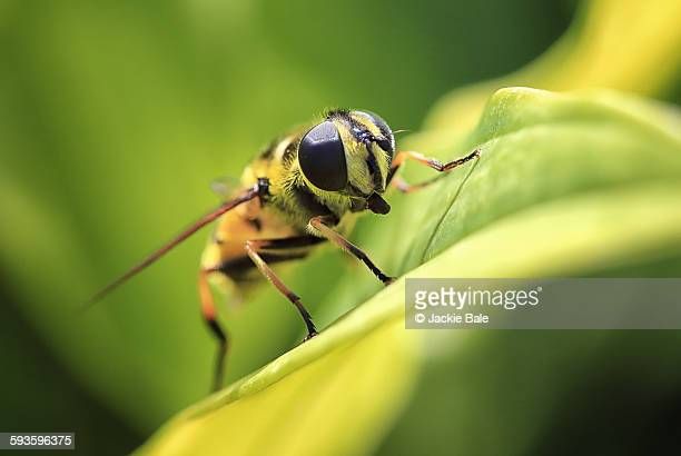 Hoverfly [Syrphoidea] on a green leaf