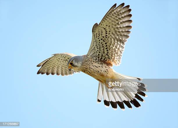 hovering common kestrel - hovering stock photos and pictures
