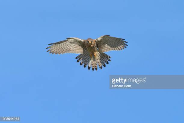 Hovering female kestrel (Falco tinnunculus), Lower Rhine, North Rhine-Westphalia, Germany