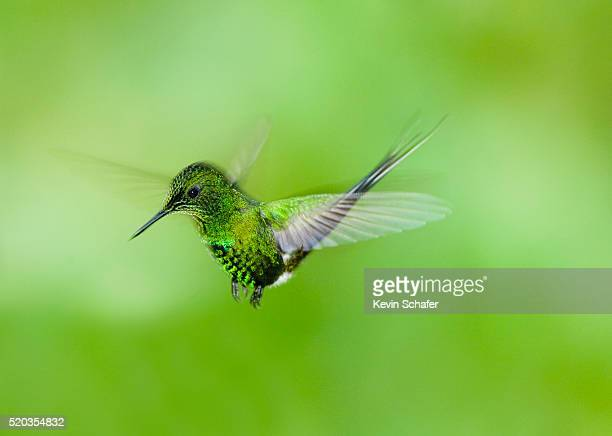 Hovering Green Thorntail