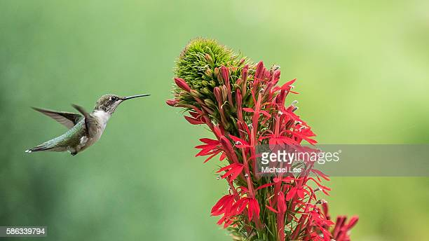 Hovering Ruby Throated Hummingbird