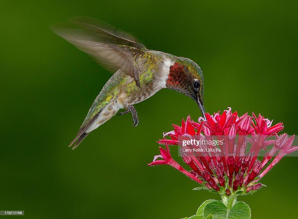 Hovering Ruby-throat Hummingbird : Stock-Foto