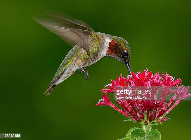 hovering ruby-throat hummingbird - colibri photos et images de collection