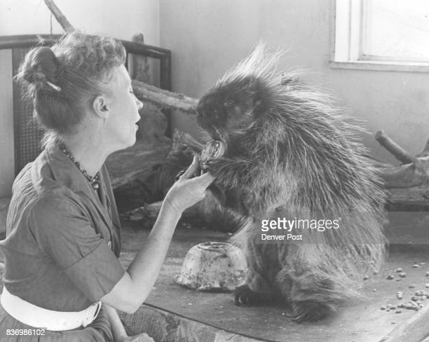 How do you handle a porcupine Carefully Eva Brand Says Here Wicket gratefully accepts a tart He was abandoned as a baby at Estes Park Colo Credit...
