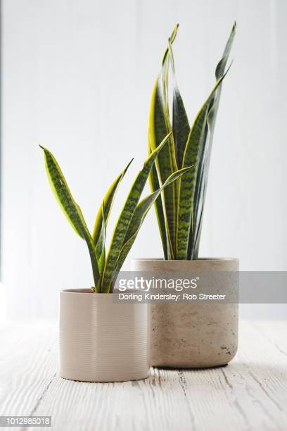 how to divide a plant final - sanseveria trifasciata stock pictures, royalty-free photos & images