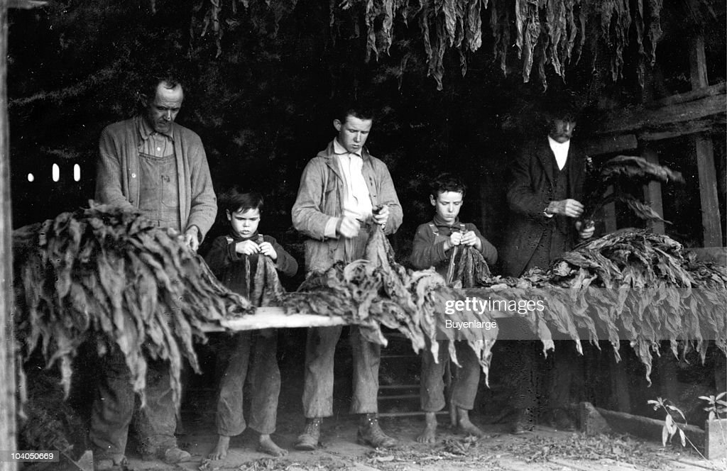 A Family Stripping Tobacco : News Photo
