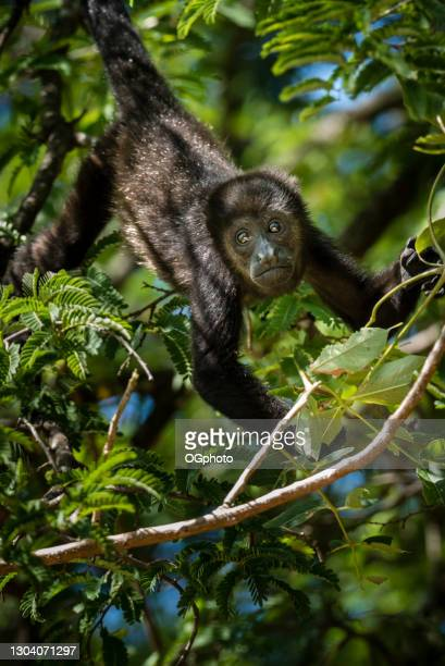singe hurleur dans un arbre.  costa rica - ogphoto photos et images de collection