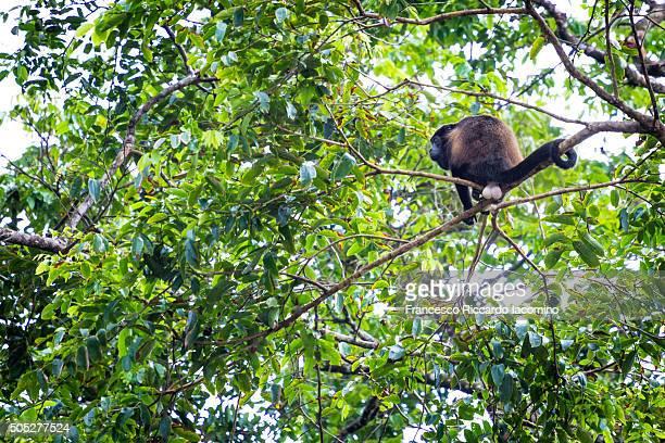 howler monkey, tortuguero, costa rica - iacomino costa rica foto e immagini stock