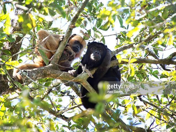 howler monkeys in a tree. - alex saberi photos et images de collection