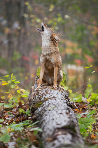Howling coyote. 517401569