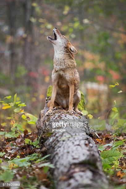 Howling coyote.