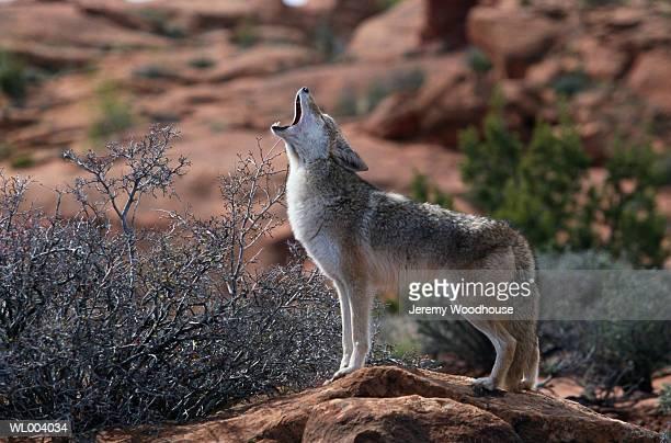 howling coyote - coiote imagens e fotografias de stock