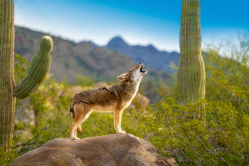 Howling Coyote standing on Rock with Saguaro Cacti 1164597163