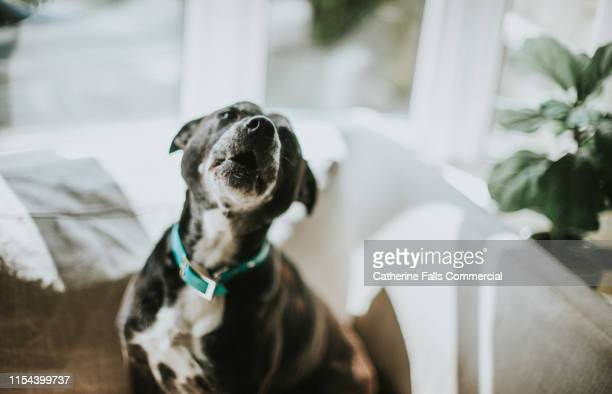 howling dog - bark stock pictures, royalty-free photos & images