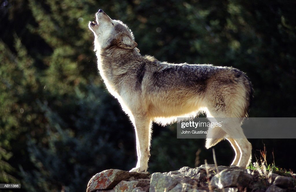 Howling Gray Wolf : Stock Photo