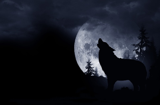 Howling Wolf Background 494350230