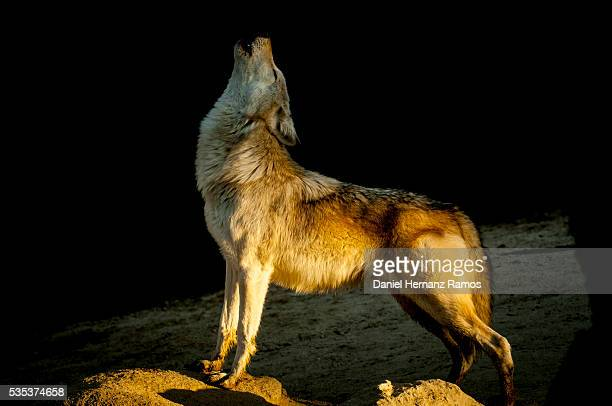 Howling wolf. Canis lupus arctos