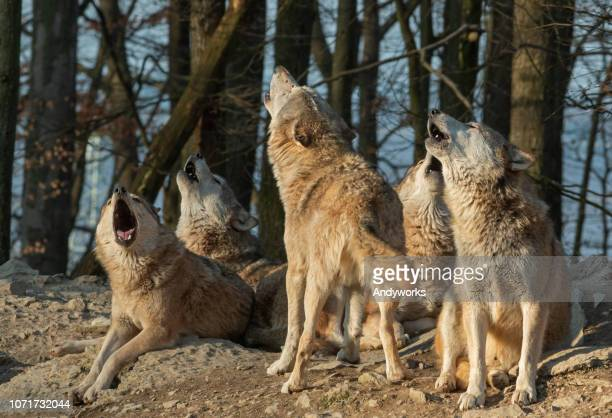 howling wolf pack - group of animals stock pictures, royalty-free photos & images