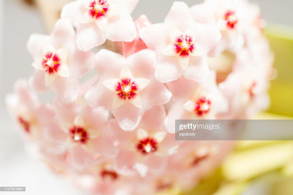 Hoya Carnosa or Waxplant Flower : Stock Photo