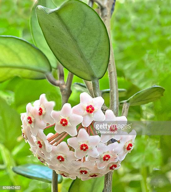 hoya carnosa - crmacedonio stock photos and pictures