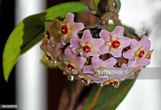 Hoya Carnosa, Waxplant, Wax vine, Waxflower