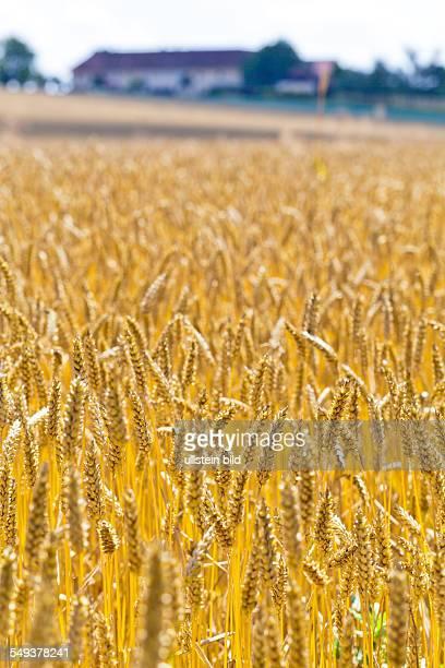 Ähren von Weizen auf einem Getreidefeld eines Bauern im Sommer