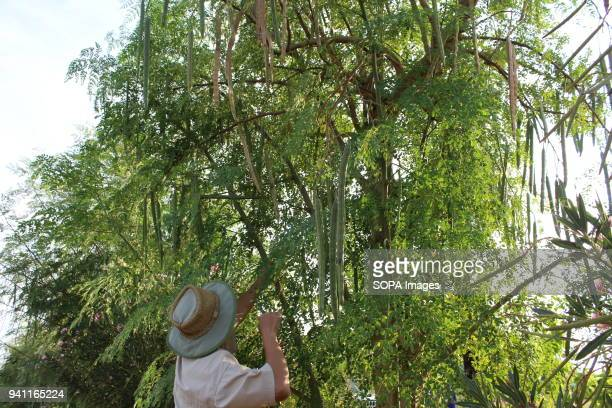 Hu Yan is a Chinese moringa tree farmer based in Botswana The moringa farm located in the outskirts of Tlokweng village boasts of 3 meter long 10 000...
