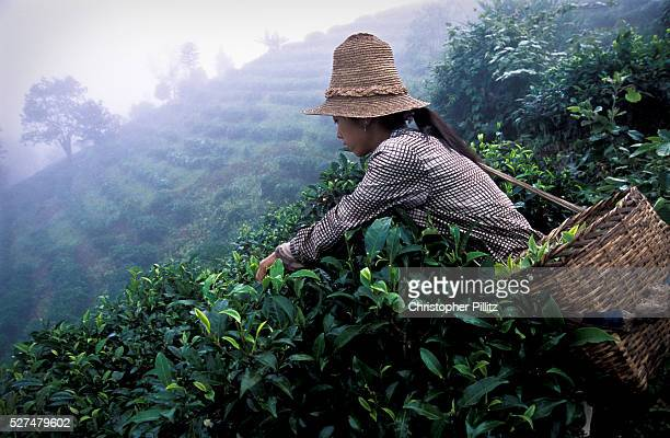 A Hua picks tea on the slopes outside her village of Zha Lu Yunnan province China bordering Myanmar and Laos She together with her husband and...