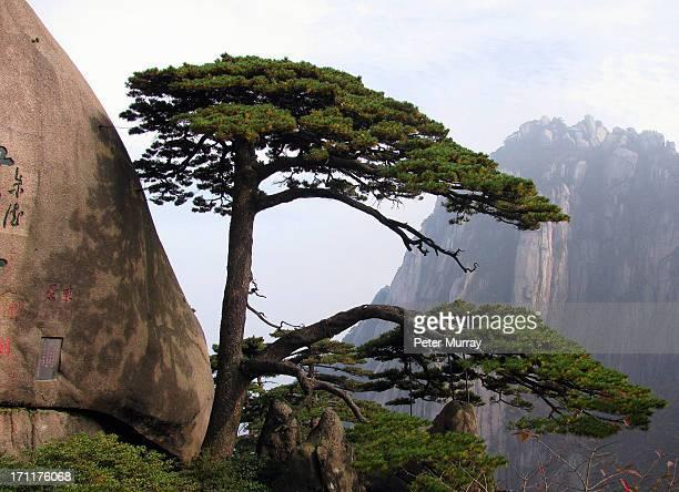 huang shan pine tree - lotus flower peak stock pictures, royalty-free photos & images