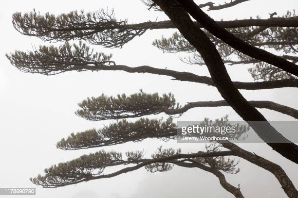 huangshan pines - jeremy woodhouse stock pictures, royalty-free photos & images
