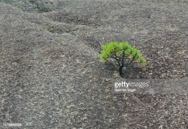 huangshan / yellow mountain pine tree growing from a crack in a granite rock in china - hartnäckigkeit stock-fotos und bilder
