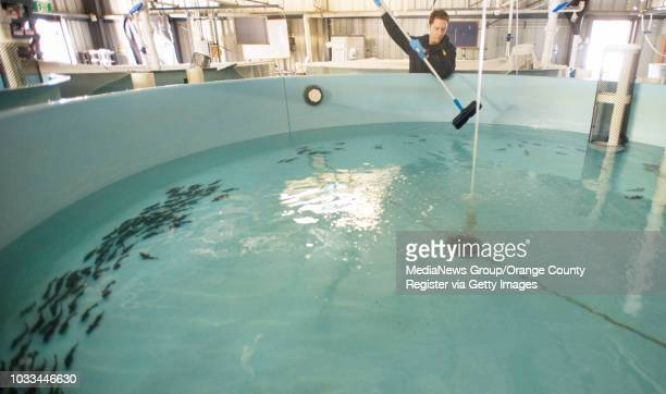 HubbsSeaWorld lead fish technician Chris Cunninghan performs daily cleaning of white seabass tanks at the Research Institute's hatchery in Carlsbad...