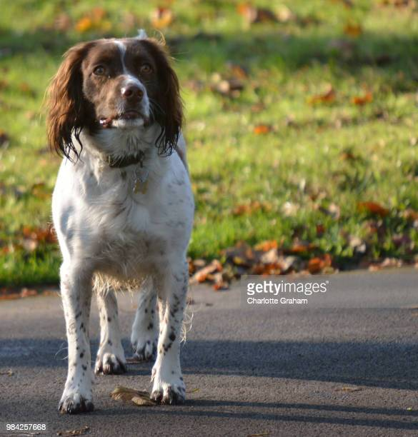 huddersfield,uk - english springer spaniel stock pictures, royalty-free photos & images