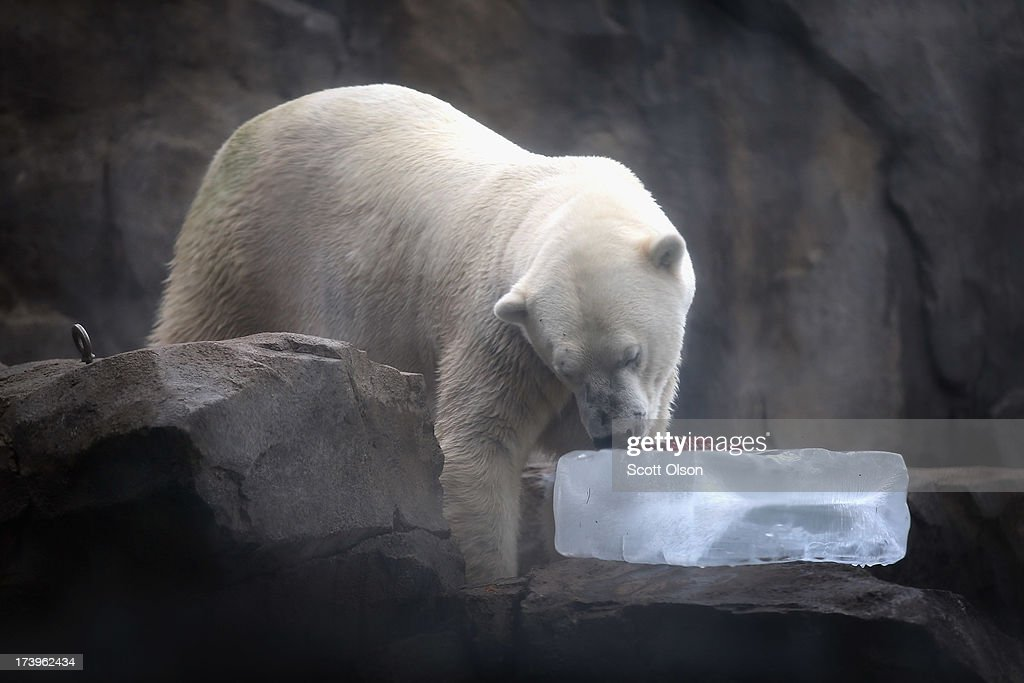Hudson, a polar bear, gets a treat of fruit served on a block of ice to help him keep cool in his enclosure at Brookfield Zoo on July 18, 2013 in Brookfield, Illinois. A heat wave continues to grip much of the country today with temperatures expected to top 90 degrees in 47 states.