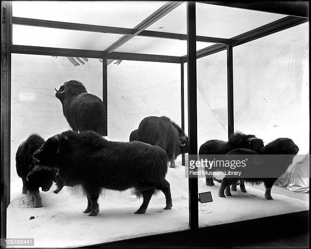 Hudson Bay Musk Ox Artiodactyla Bovidae group on exhibit From Hudson Bay Region Carl Akeley Taxidermist Field Columbian Museum 1897