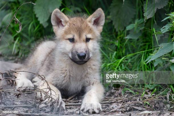 Hudson Bay Wolf cub