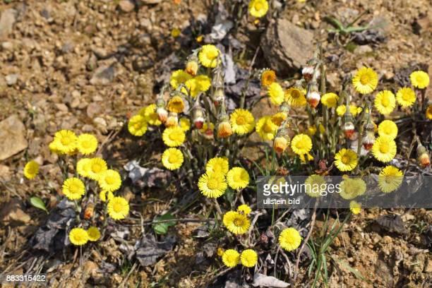 Huflattich viele gelbe Blueten