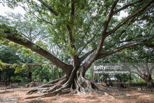 Huge Ancient Tree in Bangalore