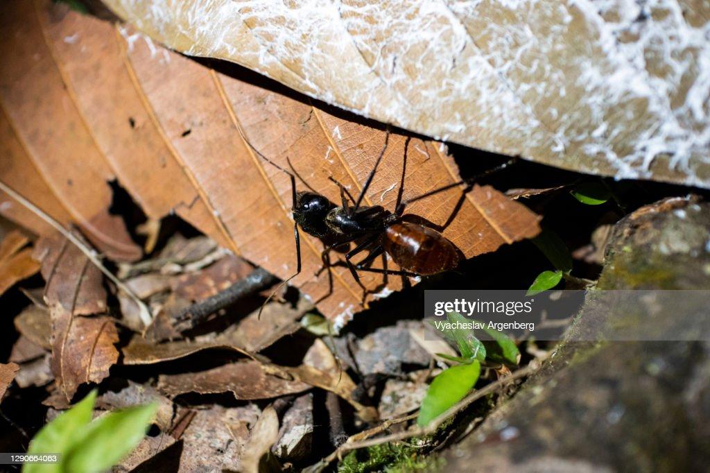 Huge ants, Tawau Hills, Borneo : Stock Photo