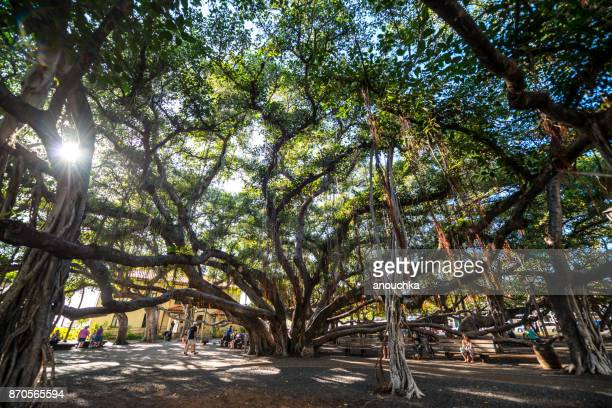 huge banyan tree in lahaina downtown, maui, hawaii, usa - banyan tree stock photos and pictures
