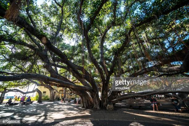 huge banyan tree in lahaina downtown, maui, hawaii, usa - lahaina stock pictures, royalty-free photos & images